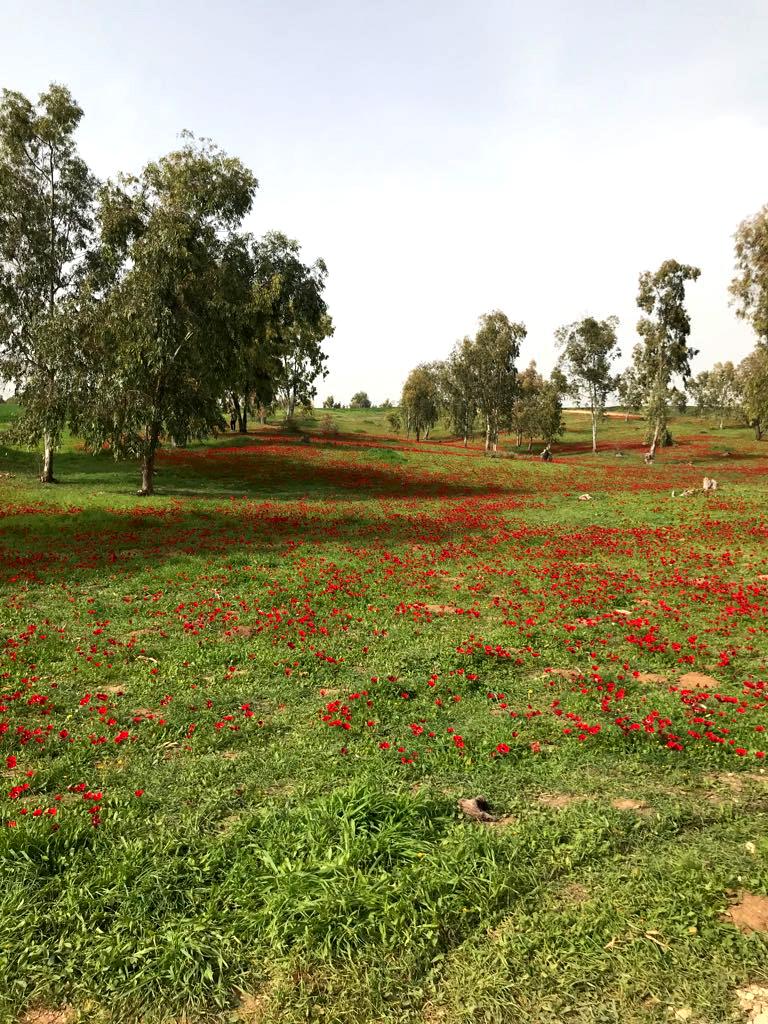 Kalaniyot, Israel Flowers