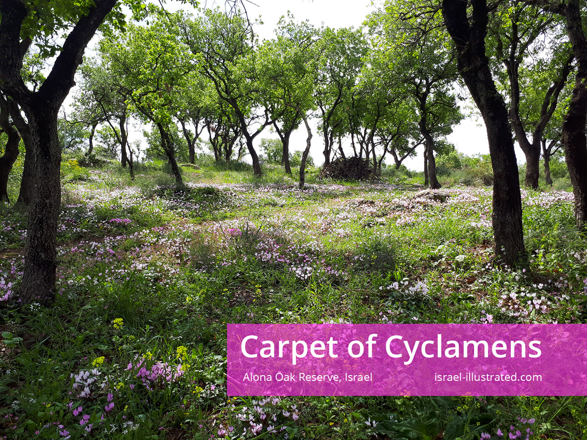 Spring time! Pink carpet of cyclamens